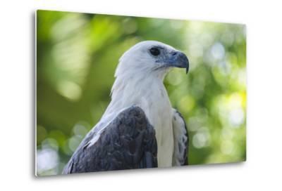 Philippine Eagle, Davao, Mindanao, Philippines-Michael Runkel-Metal Print
