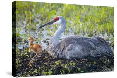 Just Hatched, Sandhill Crane on Nest with First Colt, Florida-Maresa Pryor-Stretched Canvas Print