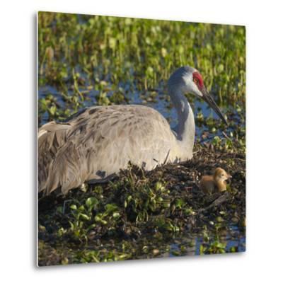 Just Hatched, Sandhill Crane on Nest with First Colt, Florida-Maresa Pryor-Metal Print