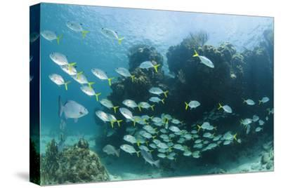Horse-Eye Jack and Chub, Hol Chan Marine Reserve, Belize-Pete Oxford-Stretched Canvas Print