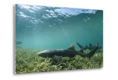 Nurse Shark, Marine Megafauna Research. Maralliance, Half Moon Caye, Lighthouse Reef, Atoll, Belize-Pete Oxford-Metal Print