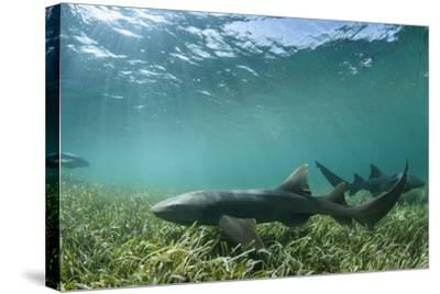 Nurse Shark, Marine Megafauna Research. Maralliance, Half Moon Caye, Lighthouse Reef, Atoll, Belize-Pete Oxford-Stretched Canvas Print