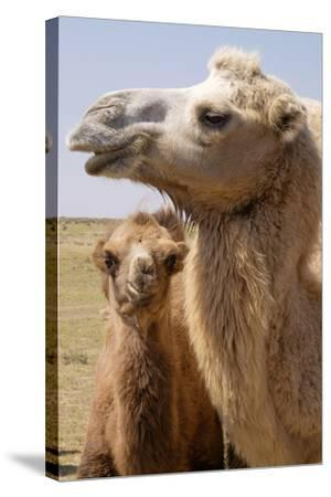 Mongolia, Lake Tolbo, Bactrian Camels-Emily Wilson-Stretched Canvas Print