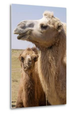 Mongolia, Lake Tolbo, Bactrian Camels-Emily Wilson-Metal Print