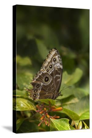 USA, Tennessee, Chattanooga. Giant Owl Butterfly on Leaf-Jaynes Gallery-Stretched Canvas Print