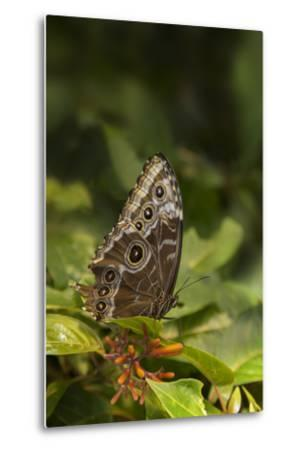 USA, Tennessee, Chattanooga. Giant Owl Butterfly on Leaf-Jaynes Gallery-Metal Print
