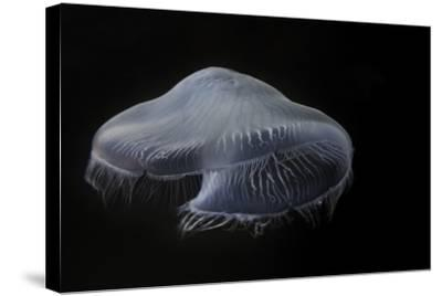 USA, Tennessee, Chattanooga. Moon Jellyfish in Aquarium-Jaynes Gallery-Stretched Canvas Print