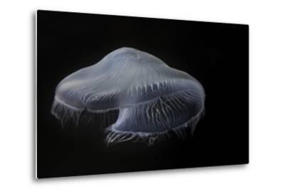 USA, Tennessee, Chattanooga. Moon Jellyfish in Aquarium-Jaynes Gallery-Metal Print