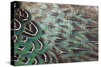 Melanistic Pheasant Feather Pattern-Darrell Gulin-Stretched Canvas Print