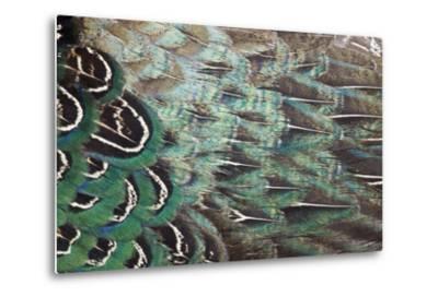 Melanistic Pheasant Feather Pattern-Darrell Gulin-Metal Print