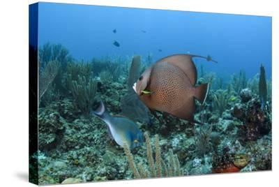 Gray Angelfish, Hol Chan Marine Reserve, Belize-Pete Oxford-Stretched Canvas Print