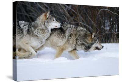 Gray Wolves Running in Snow in Winter, Montana-Richard and Susan Day-Stretched Canvas Print