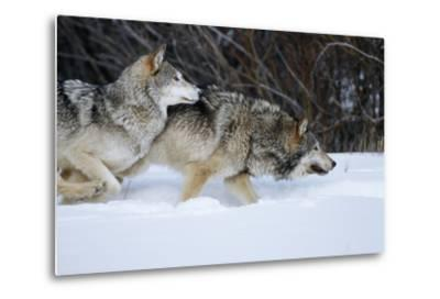 Gray Wolves Running in Snow in Winter, Montana-Richard and Susan Day-Metal Print
