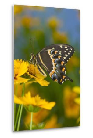 Palmates Swallowtail Butterfly-Darrell Gulin-Metal Print