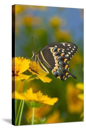 Palmates Swallowtail Butterfly-Darrell Gulin-Stretched Canvas Print