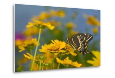 Palmedes Swallowtail-Darrell Gulin-Metal Print