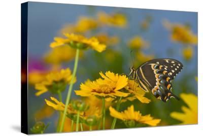 Palmedes Swallowtail-Darrell Gulin-Stretched Canvas Print