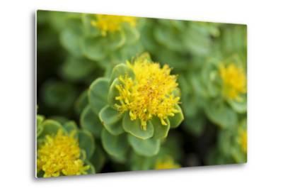 Greenland, Sydkapp, the Roseroot Aka King's Crown, Perennial Flowering Plant-Aliscia Young-Metal Print