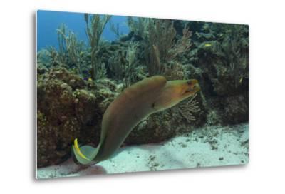 Green Moray, Hol Chan Marine Reserve, Ambergris Caye, Belize-Pete Oxford-Metal Print