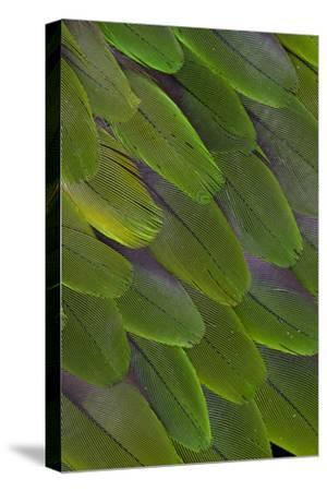 Green Feathers of the Caique Parrot-Darrell Gulin-Stretched Canvas Print