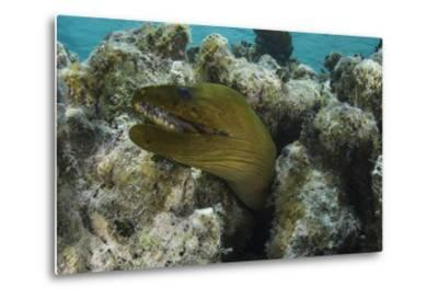 Green Moray, Lighthouse Reef, Atoll, Belize-Pete Oxford-Metal Print