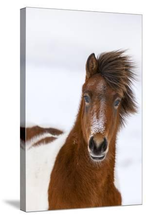 Icelandic Horse with Typical Winter Coat, Iceland-Martin Zwick-Stretched Canvas Print