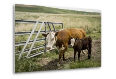 Palouse, Snake River Expedition, Pioneer Stock Farm, Cows at Pasture Gate-Alison Jones-Metal Print