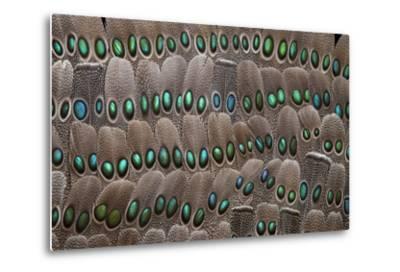 Grey Peacock Tail Feathers-Darrell Gulin-Metal Print