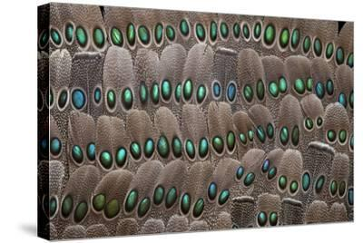 Grey Peacock Tail Feathers-Darrell Gulin-Stretched Canvas Print