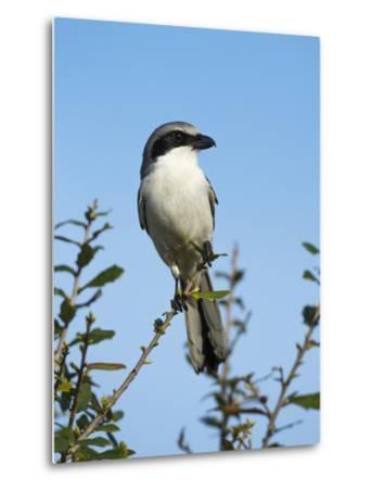 Loggerhead Shrike on Lookout after Feeding Young, Celery Fields, Sarasota, Florida-Maresa Pryor-Metal Print