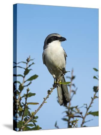 Loggerhead Shrike on Lookout after Feeding Young, Celery Fields, Sarasota, Florida-Maresa Pryor-Stretched Canvas Print