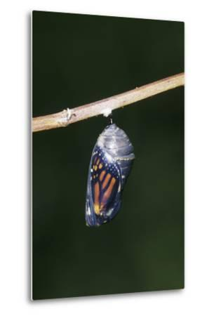 Monarch Pupa, Chrysalis before Emergence Marion County, Illinois-Richard and Susan Day-Metal Print