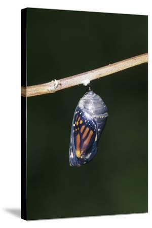 Monarch Pupa, Chrysalis before Emergence Marion County, Illinois-Richard and Susan Day-Stretched Canvas Print