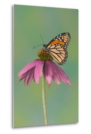 Monarch Butterfly-Darrell Gulin-Metal Print