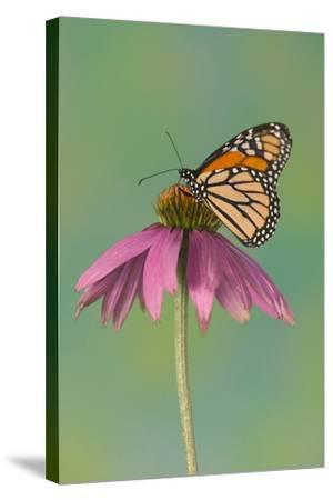 Monarch Butterfly-Darrell Gulin-Stretched Canvas Print