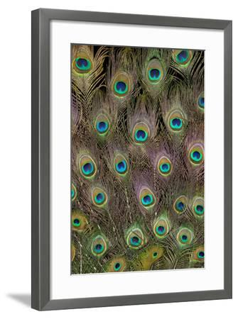 Male Peacock Tail Feathers-Darrell Gulin-Framed Premium Photographic Print