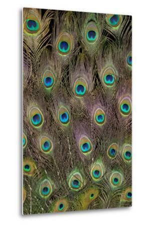 Male Peacock Tail Feathers-Darrell Gulin-Metal Print