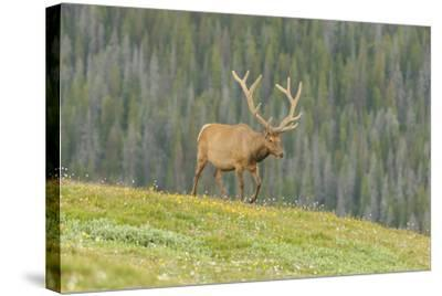 USA, Colorado, Rocky Mountain National Park. Bull Elk in Velvet Walking-Jaynes Gallery-Stretched Canvas Print