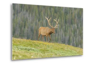 USA, Colorado, Rocky Mountain National Park. Bull Elk in Velvet Walking-Jaynes Gallery-Metal Print
