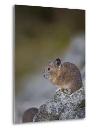 Pika, a Non-Hibernating Mammal Closely Related to Rabbits-Gary Luhm-Metal Print