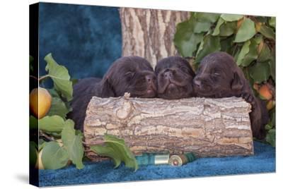 Pile of Sleeping Labrador Retriever Puppies-Zandria Muench Beraldo-Stretched Canvas Print