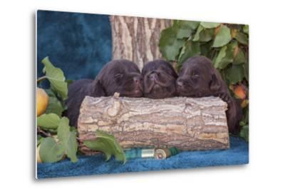 Pile of Sleeping Labrador Retriever Puppies-Zandria Muench Beraldo-Metal Print