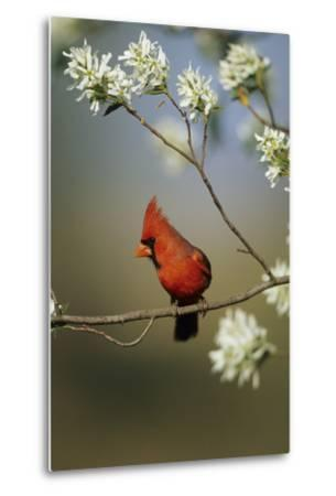 Northern Cardinal Male on Flowering Serviceberry Tree, Marion, Il-Richard and Susan Day-Metal Print