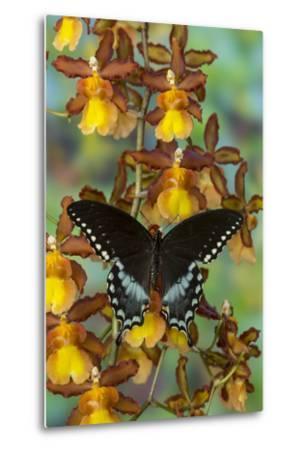 Spicebush Swallowtail Butterfly-Darrell Gulin-Metal Print