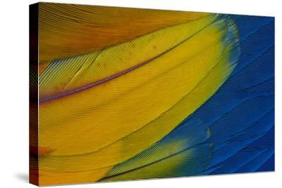 Scarlet Macaw Wing Covert Feathers-Darrell Gulin-Stretched Canvas Print