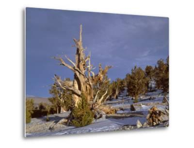 USA, California, Inyo National Forest, Ancient Bristlecone Pine Forest Area-John Barger-Metal Print