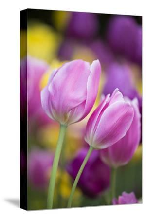 Pink, Yellow, and Purple Tulips, Chicago Botanic Garden, Glencoe, Illinois-Richard and Susan Day-Stretched Canvas Print