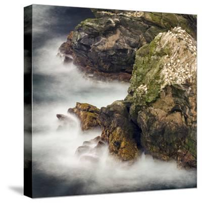 Shetland Islands, Hermaness National Nature Reserve on the Island Unst. Colony of Northern Gannet-Martin Zwick-Stretched Canvas Print