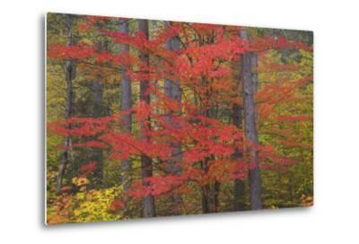 Red Tree and Fall Color Schoolcraft County, Upper Peninsula, Michigan-Richard and Susan Day-Metal Print