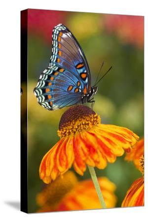 Red-Spotted Purple Butterfly-Darrell Gulin-Stretched Canvas Print